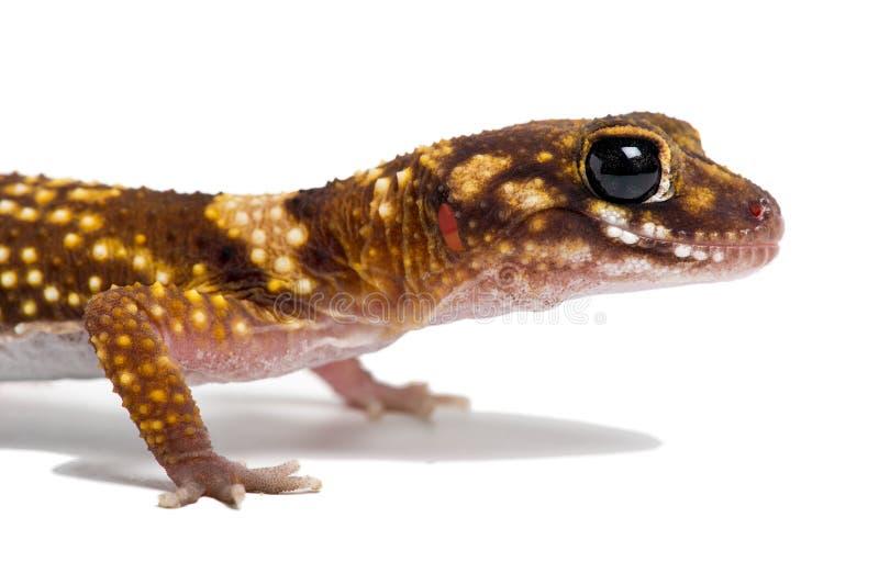Gecko australien d'écorcement (Underwoodisaurus Milii) images libres de droits