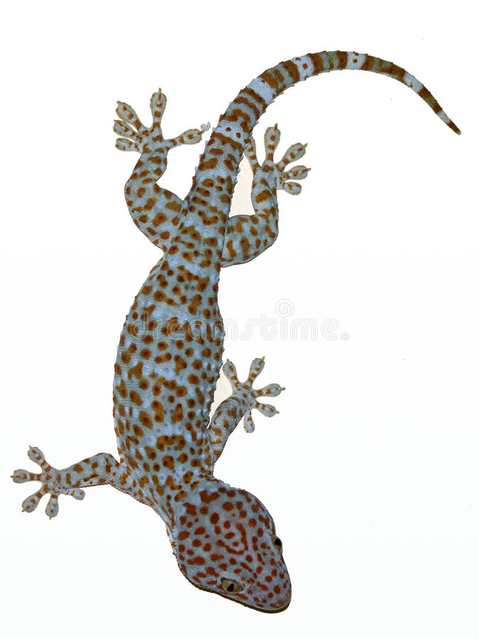 Gecko in Bangkok stock photo