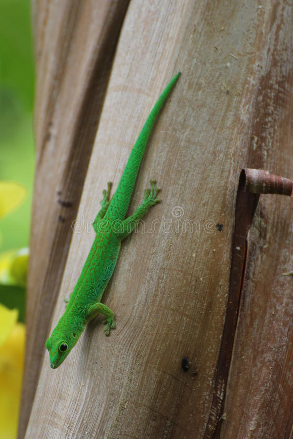 Gecko. Beautiful green gecko endemic of La Digue, seychelles islands royalty free stock image
