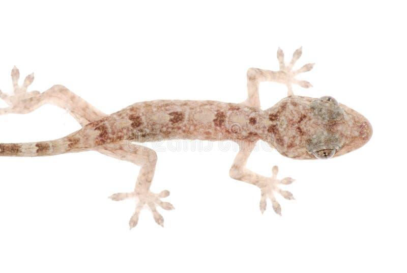 Gecko chinês animal foto de stock