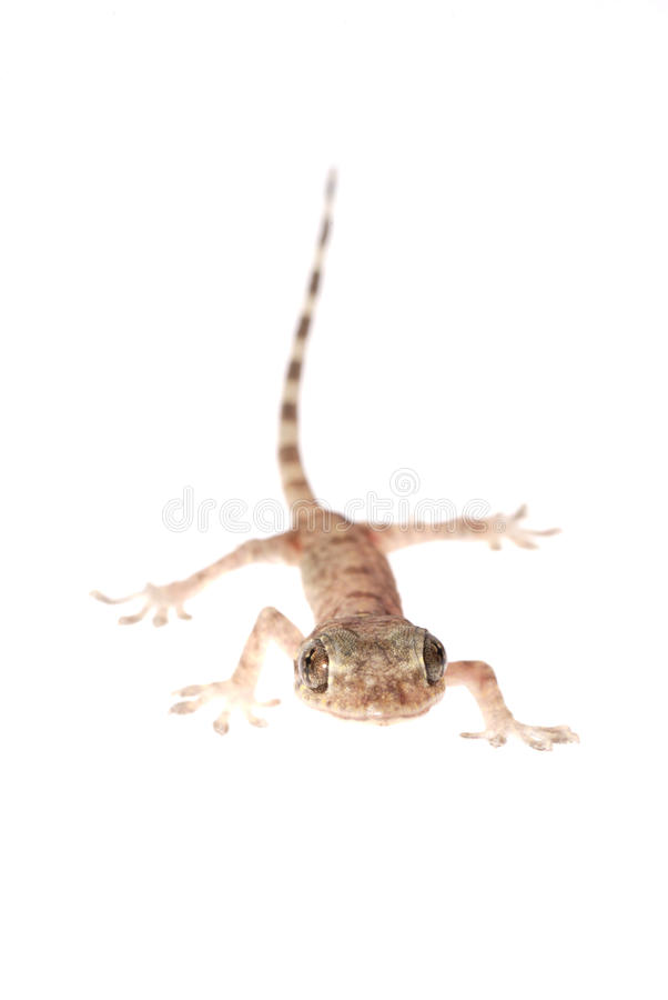 Gecko chino animal imágenes de archivo libres de regalías