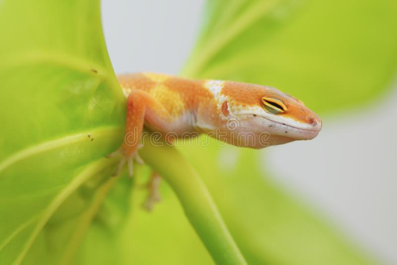 Gecko close eye. Gecko, animal, orange, indonesia, wild, pet, nopeople, eye, small, sunlight, color royalty free stock image