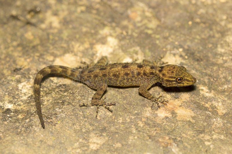 Gecko, Cnemaspis SP, Gekkonidae, Agumbe ARRSC, Karnataka lizenzfreies stockbild