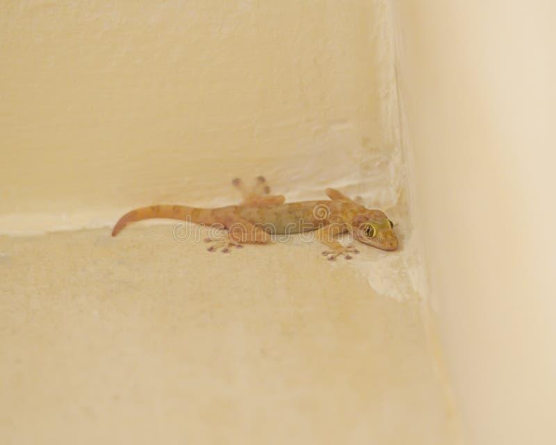 Gecko común de la casa en una pared imagen de archivo