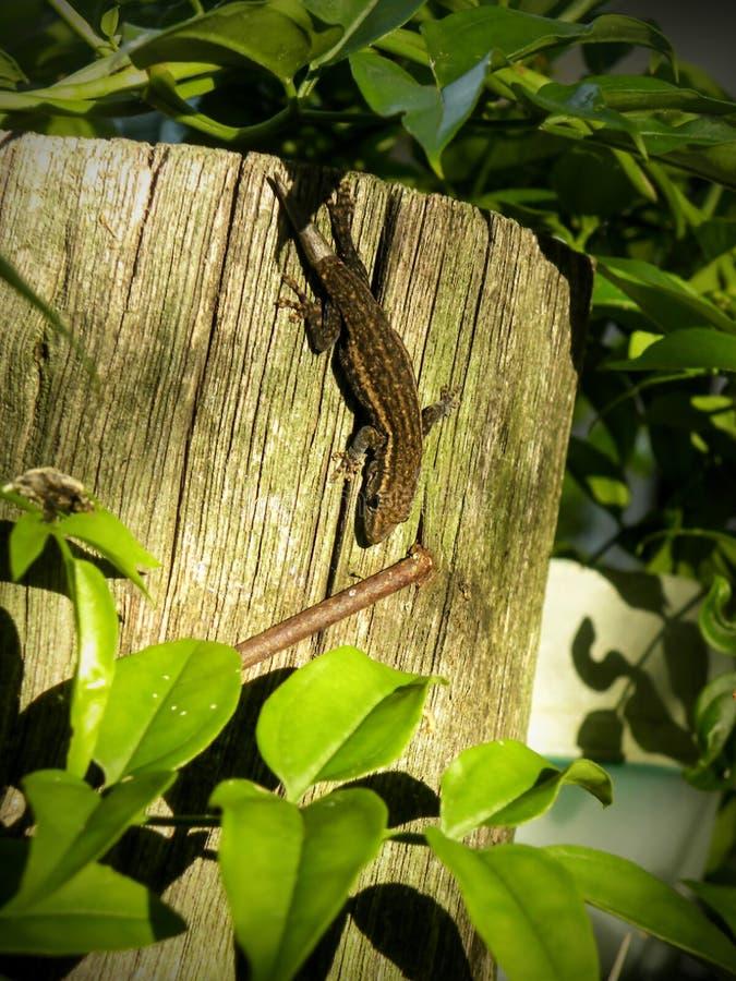 Gecko commun avec la nouvelle queue photographie stock libre de droits
