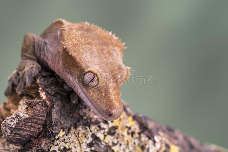 Gecko con cresta Aislado contra un fondo verde silenciado Foco en los ojos fotografía de archivo