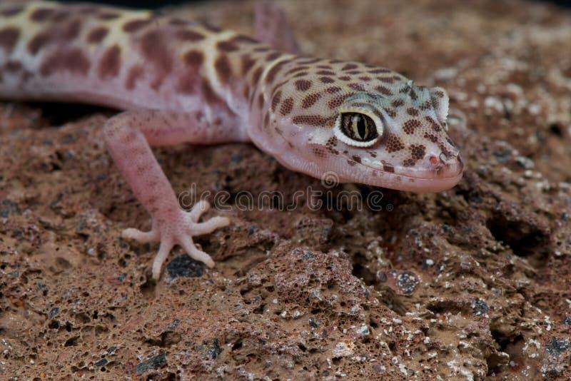 Gecko congregado occidental imagen de archivo libre de regalías