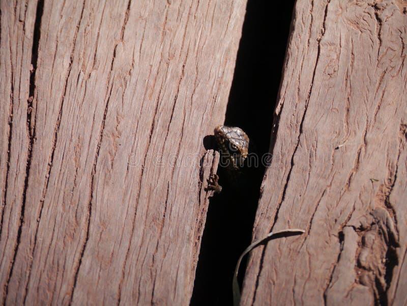 Gecko coupé la queue épais image libre de droits
