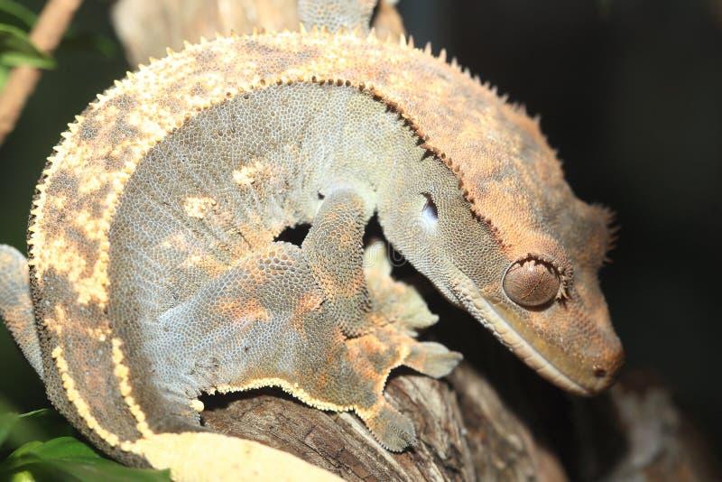 Gecko crêté images stock