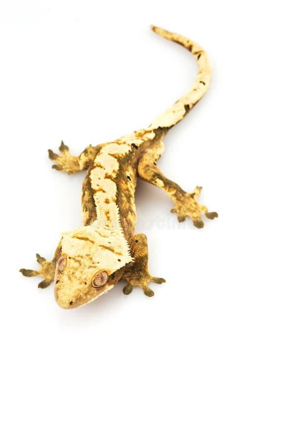 Gecko crêté photos libres de droits