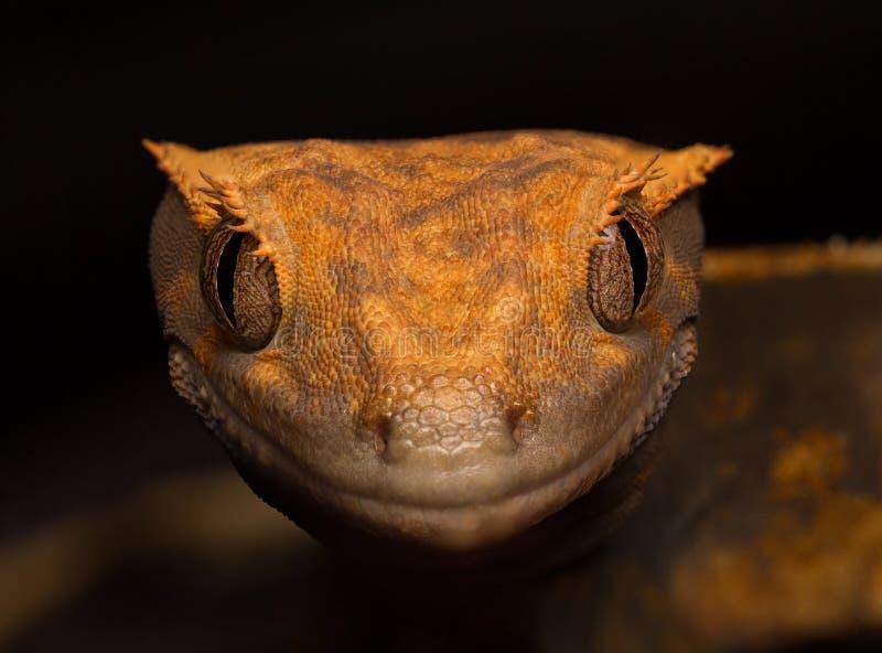 Gecko crêté photos stock