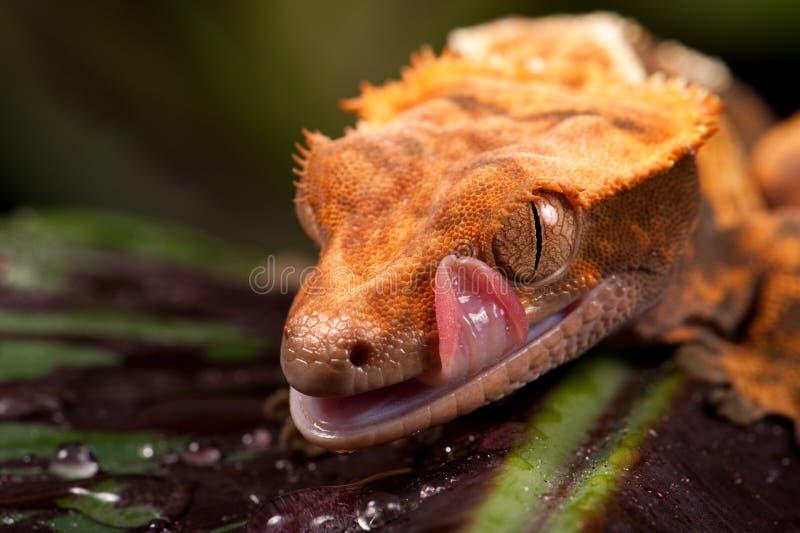 Gecko crêté calédonien neuf photographie stock