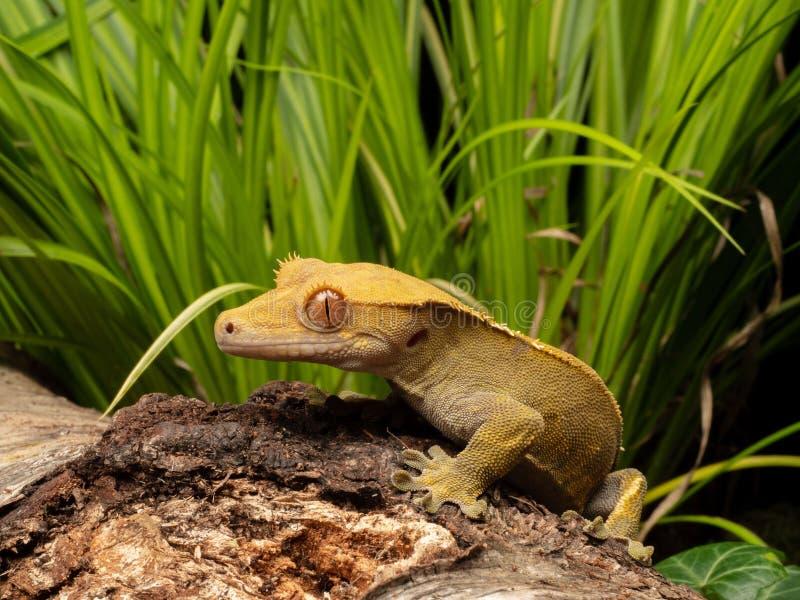 Gecko crêté sur un rondin images stock