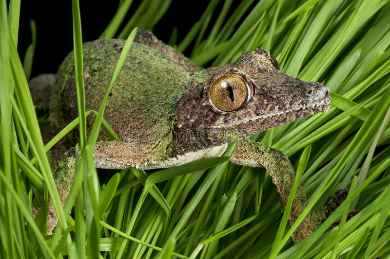 Gecko crawling through grass. A female mossy leaf-tailed gecko is crawling through the grass royalty free stock images