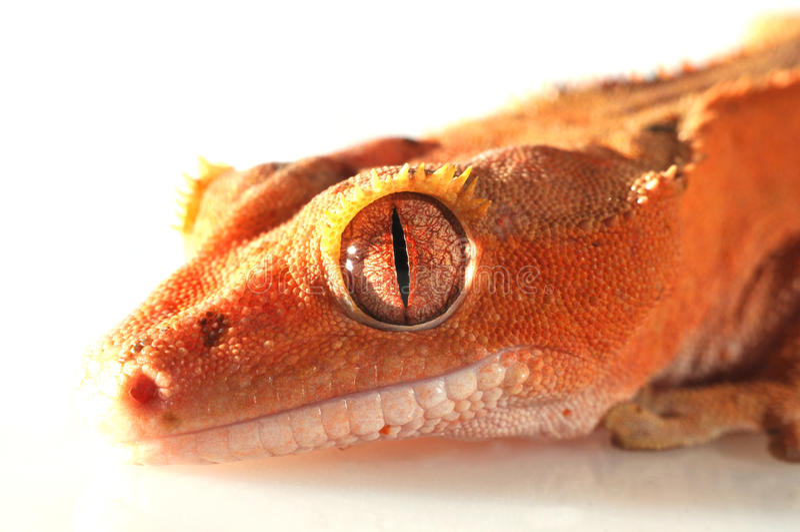 Gecko crestato fotografia stock libera da diritti