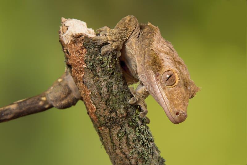 Gecko crestato fotografie stock