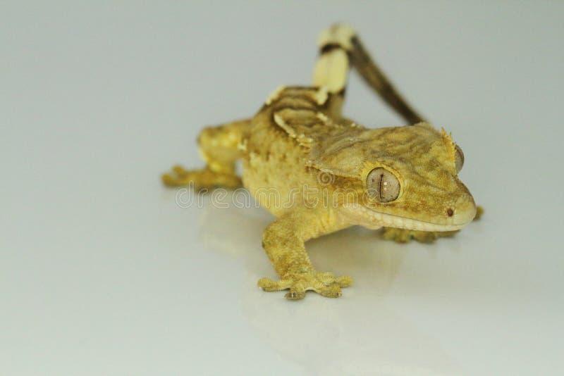 Gecko crestato su priorità bassa bianca immagini stock libere da diritti