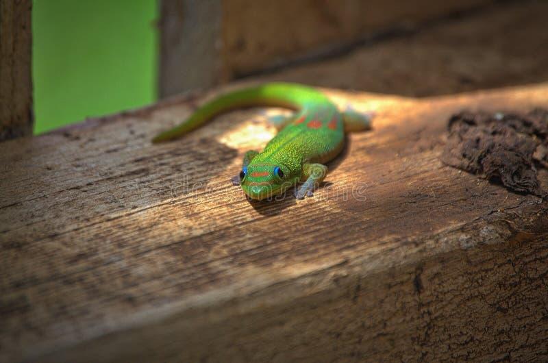 Gecko curieux photo libre de droits