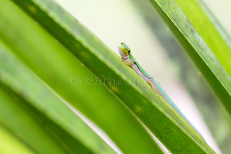 Gecko curioso fotografia stock