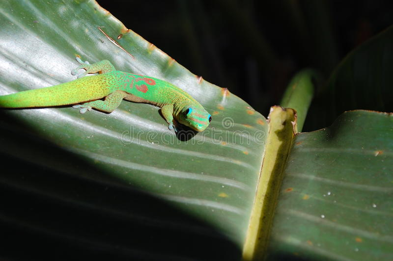 Gecko curioso immagine stock