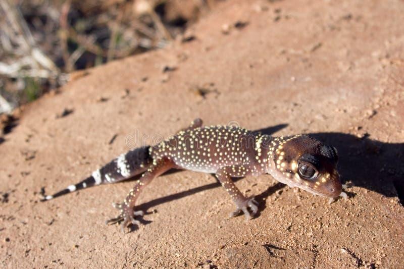 Gecko d'écorcement photographie stock libre de droits