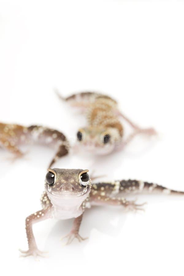 Gecko d'écorcement (milii de Nephrurus) photographie stock libre de droits