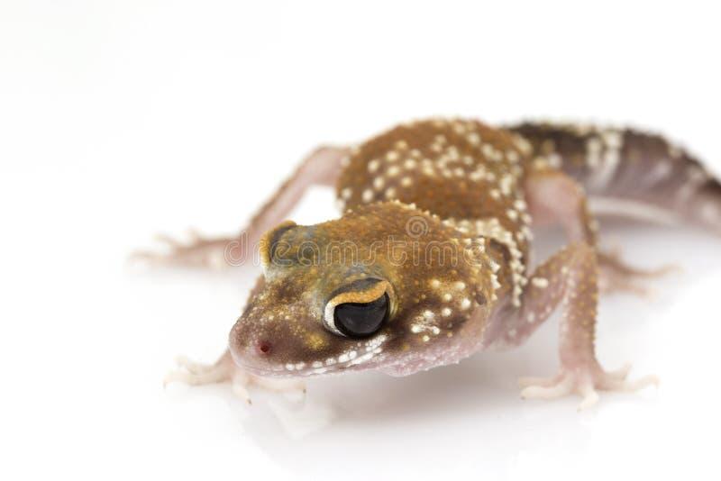 Gecko d'écorcement (milii de Nephrurus) photographie stock