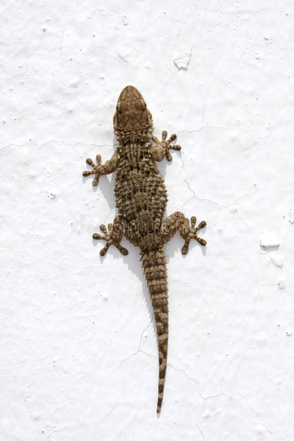 Gecko d'isolement sur le blanc photographie stock