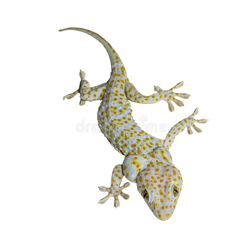 Gecko d'isolement sur le blanc photo libre de droits