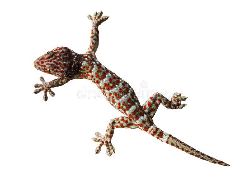 Gecko d'isolement sur un fond blanc photographie stock