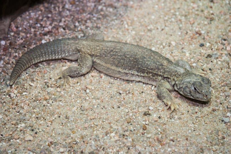 Gecko dans son habitat naturel photos libres de droits