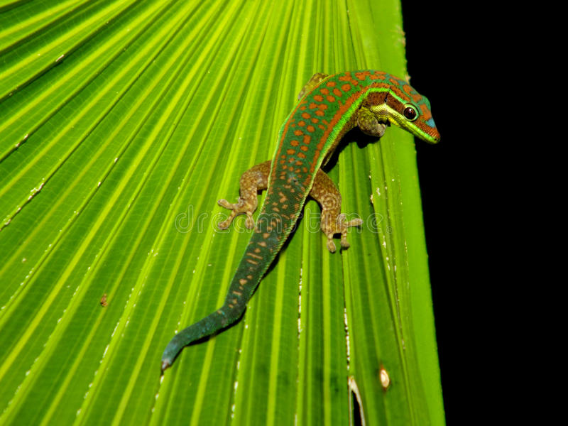 Gecko. Day gecko in natural habitat royalty free stock photos
