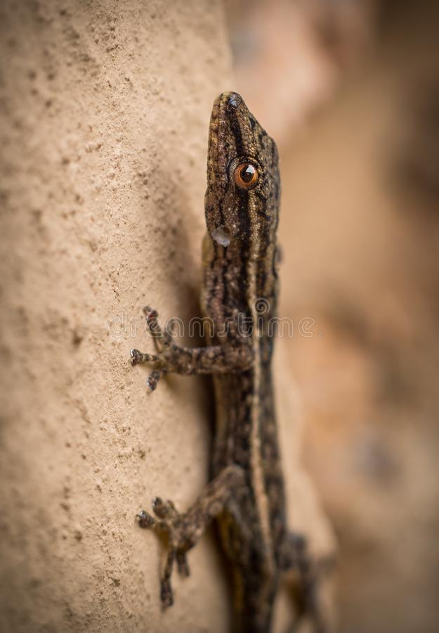 Gecko de Brown escaladant un mur images stock