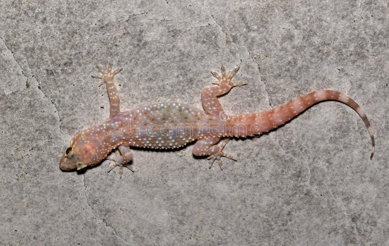 Gecko de Chambre sur un mur en béton image libre de droits