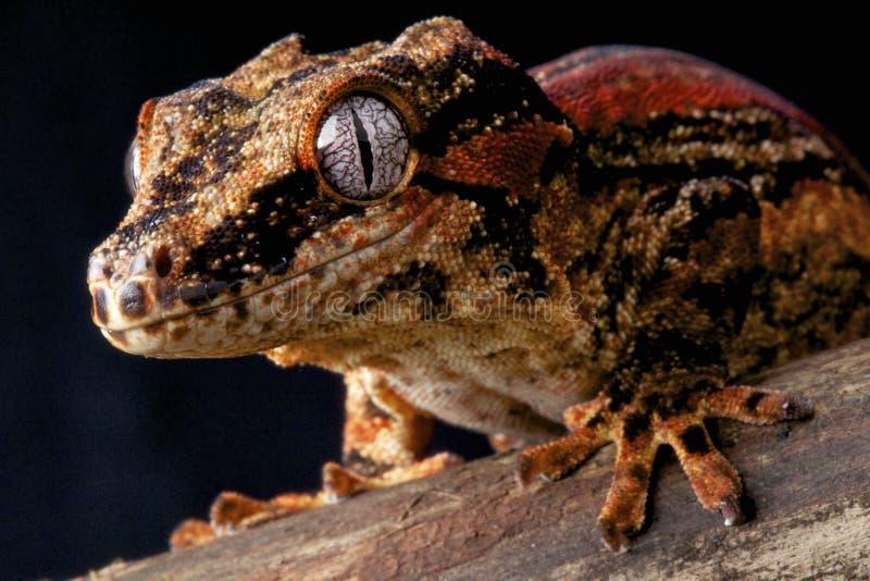 Gecko de gargouille photographie stock libre de droits