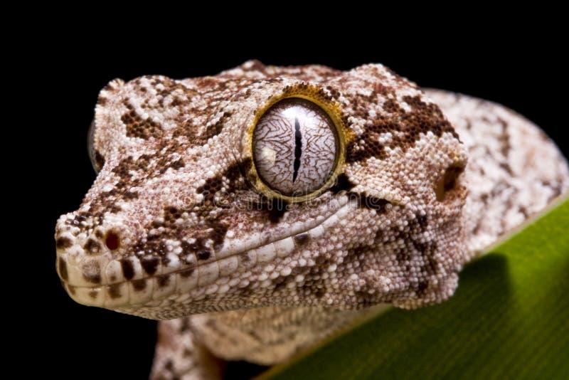 Gecko de gargouille images stock