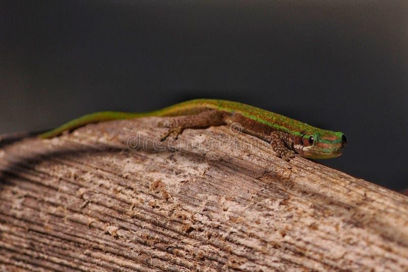 Gecko de jour dans l'habitat naturel photographie stock