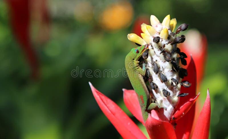 Gecko de jour de la poussière d'or léchant le nectar photo stock