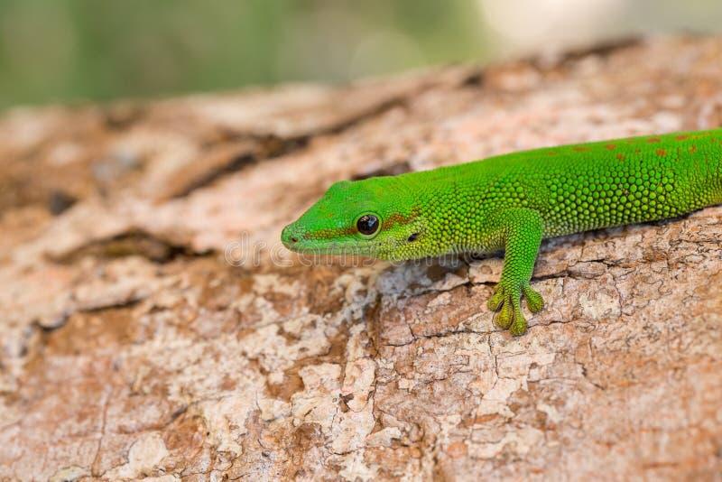 Gecko de jour de madagascariensis de Phelsuma, Madagascar image stock