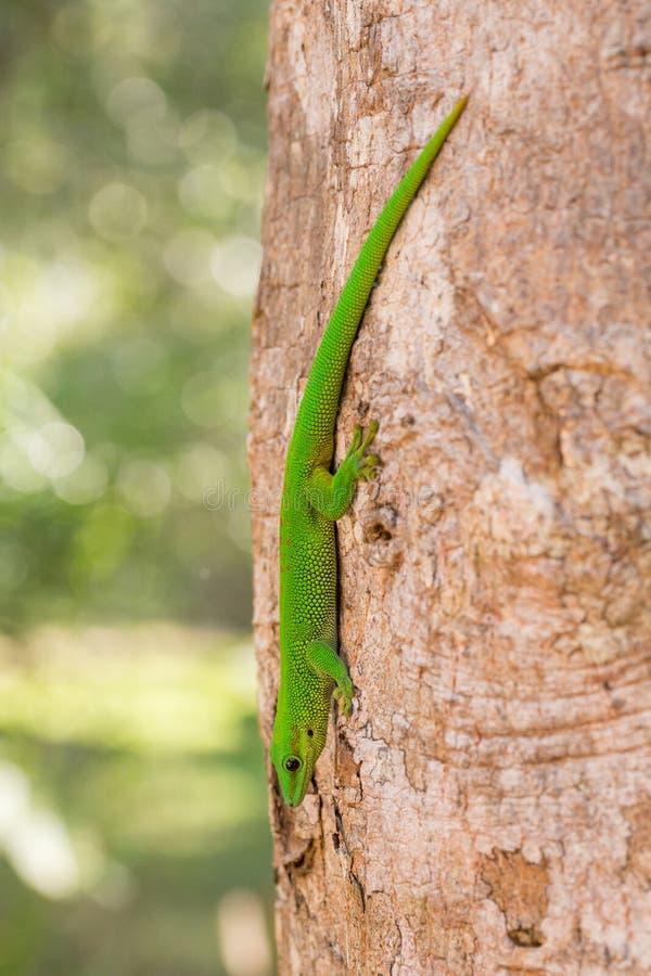 Gecko de jour de madagascariensis de Phelsuma, Madagascar photographie stock libre de droits