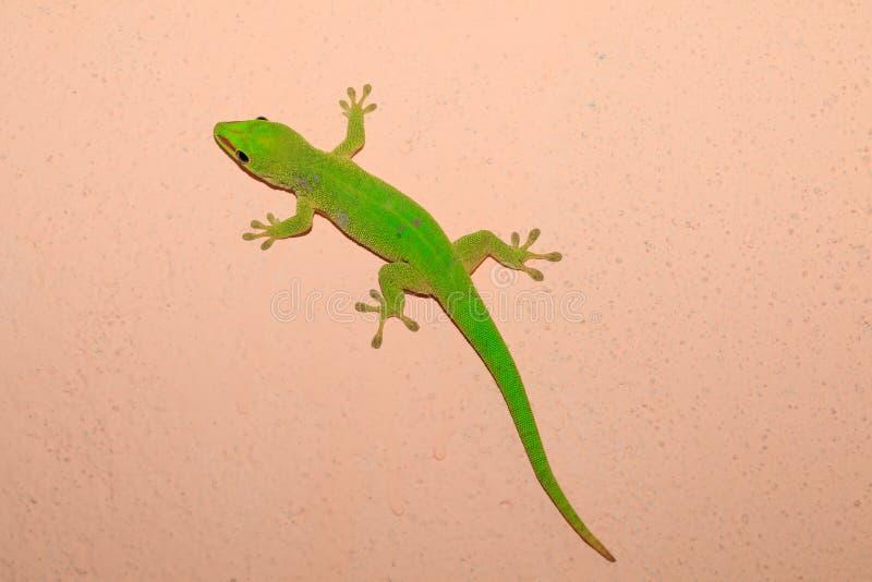 Gecko de jour de madagascariensis de Phelsuma, Madagascar photo libre de droits