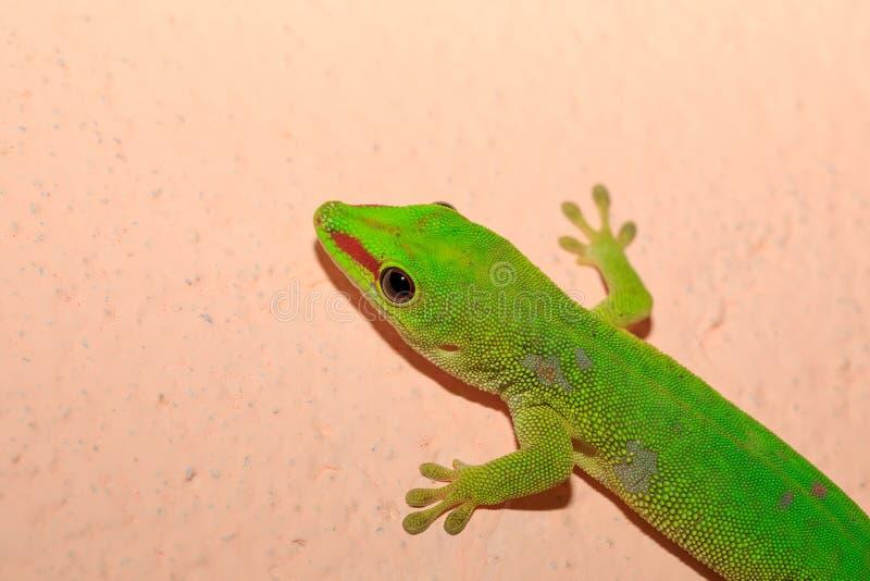 Gecko de jour de madagascariensis de Phelsuma, Madagascar photos libres de droits