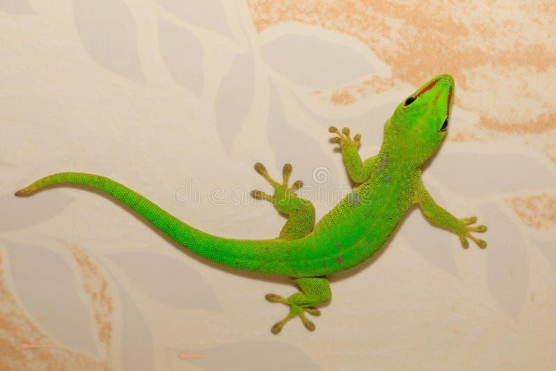 Gecko de jour de madagascariensis de Phelsuma, Madagascar images libres de droits
