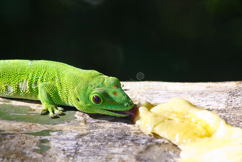 Gecko de jour du Madagascar images libres de droits