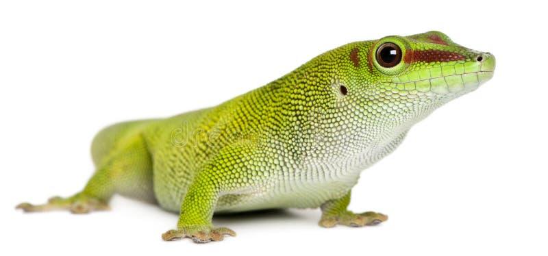 Gecko de jour du Madagascar, grandis de madagascariensis de Phelsuma, de 1 an image stock