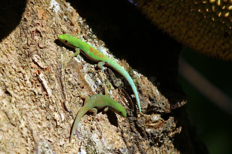 Gecko de jour du Madagascar (madagascariensis de Phelsuma) photographie stock libre de droits