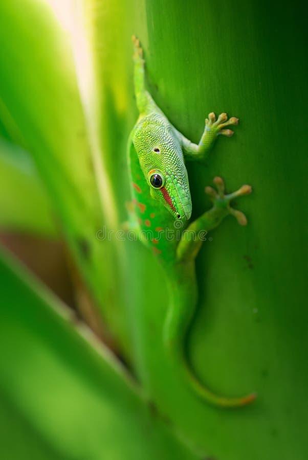 Gecko de jour du Madagascar - madagascariensis de Phelsuma image libre de droits