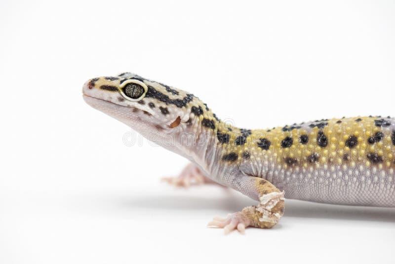 Gecko de léopard photos stock