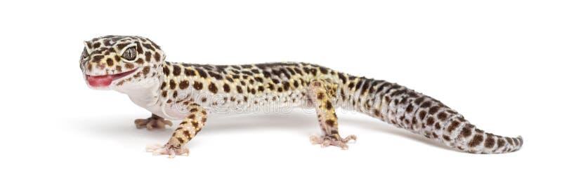 Gecko de léopard, macularius d'Eublepharis photo libre de droits