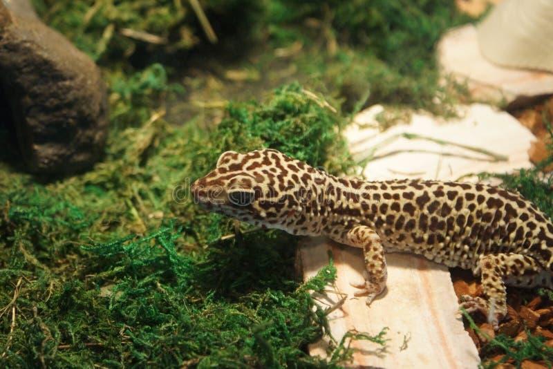 Gecko de léopard - macularius d'Eublepharis photo libre de droits